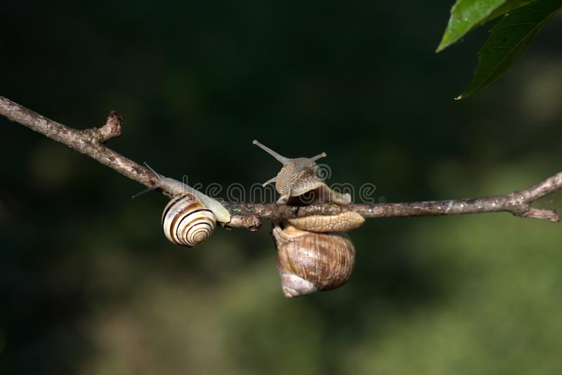 Snails And Slugs, Snail, Branch, Fauna royalty free stock photos