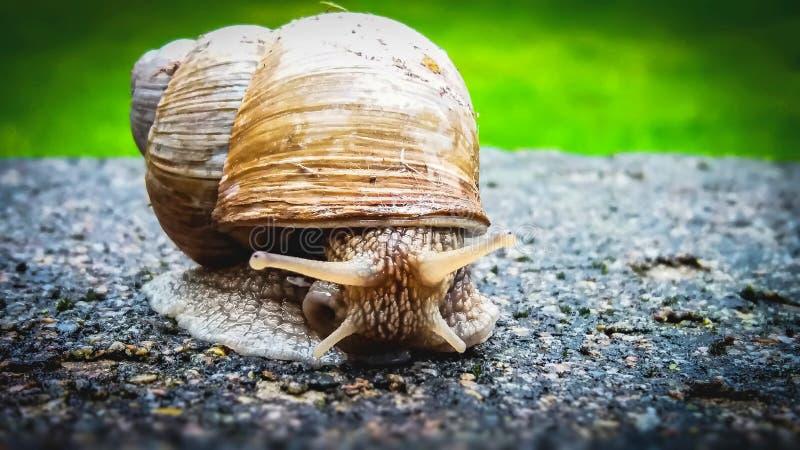 Snails And Slugs, Snail, Molluscs, Invertebrate royalty free stock images