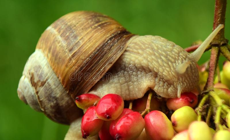 Snails And Slugs, Snail, Molluscs, Invertebrate royalty free stock photography