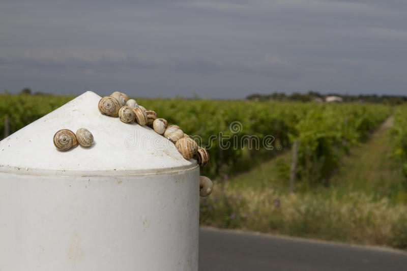 Snails on a white bollard in Il de Re with vineyards in a dark sky. Snails on a white bollard in sunlight in Il de Re, France with vineyards against a dark sky stock image