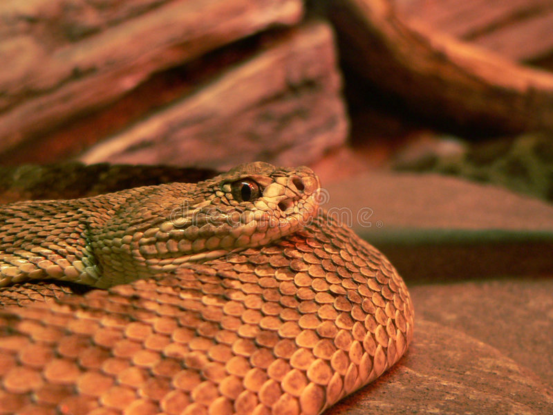 Download Snake stock photo. Image of deadly, animal, dangerous, rattle - 123660