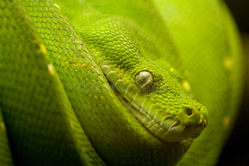Snake. A green snake on the hunt stock photo