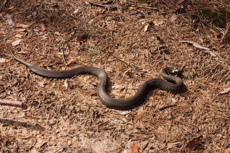 Snake royalty free stock photo