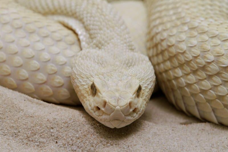 Download Snake stock photo. Image of snakes, predator, snake, desert - 15193388