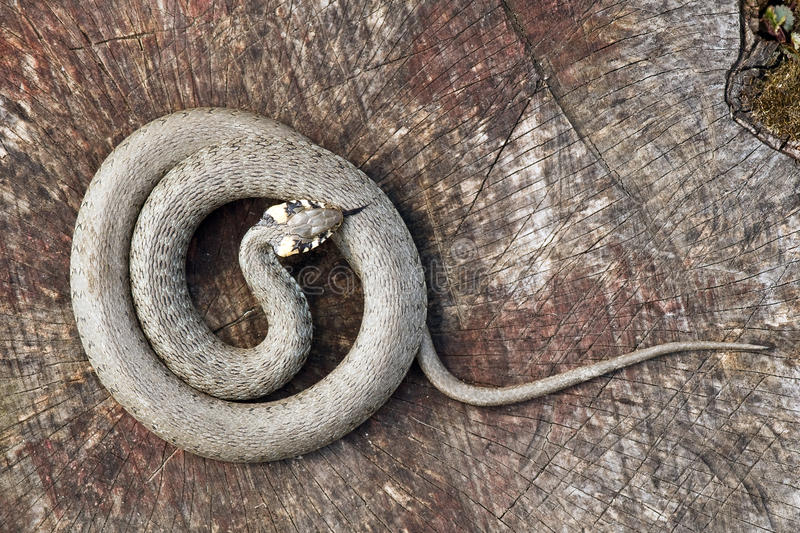 Snake. On wood stump closeup stock photography
