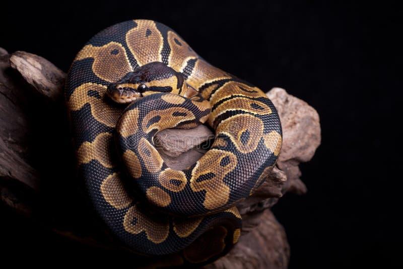 Download Snake stock image. Image of skin, dangerous, python, predator - 21741891