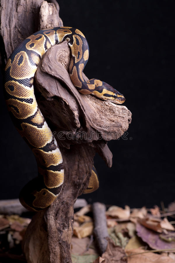Free Snake Royalty Free Stock Photos - 21741988
