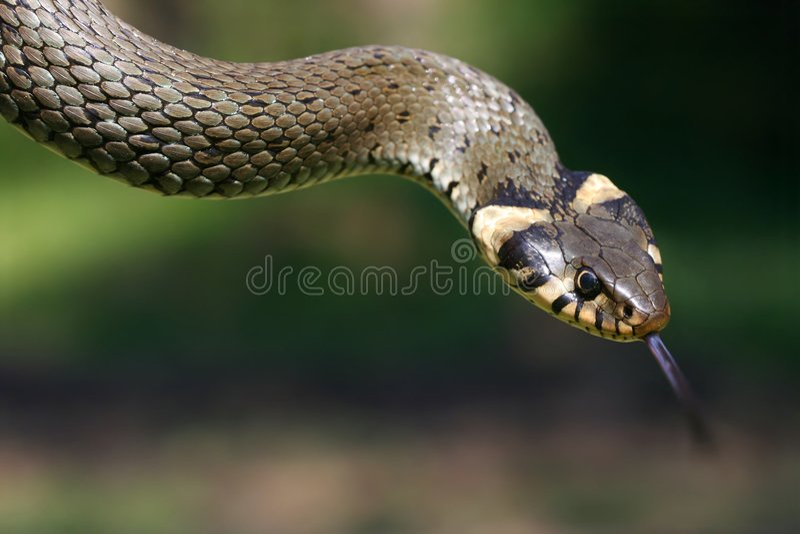 Download Snake stock image. Image of animal, scurf, palate, slender - 2383599