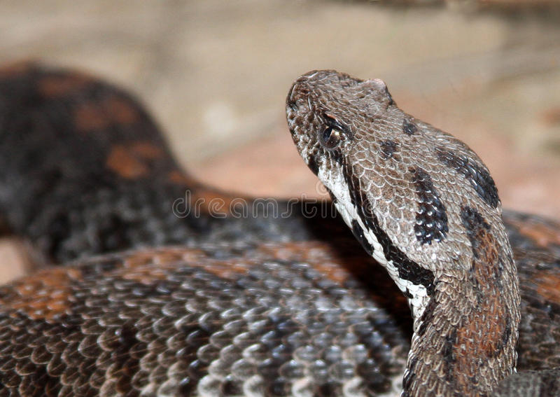 Snake. Close Up Portrait Diamond Back Rattle Snake Head Coiled In The Sand stock images