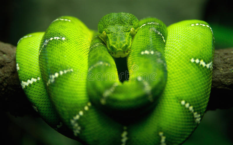 Snake. Wild green snake lying on a branch and looking straight in the face stock image