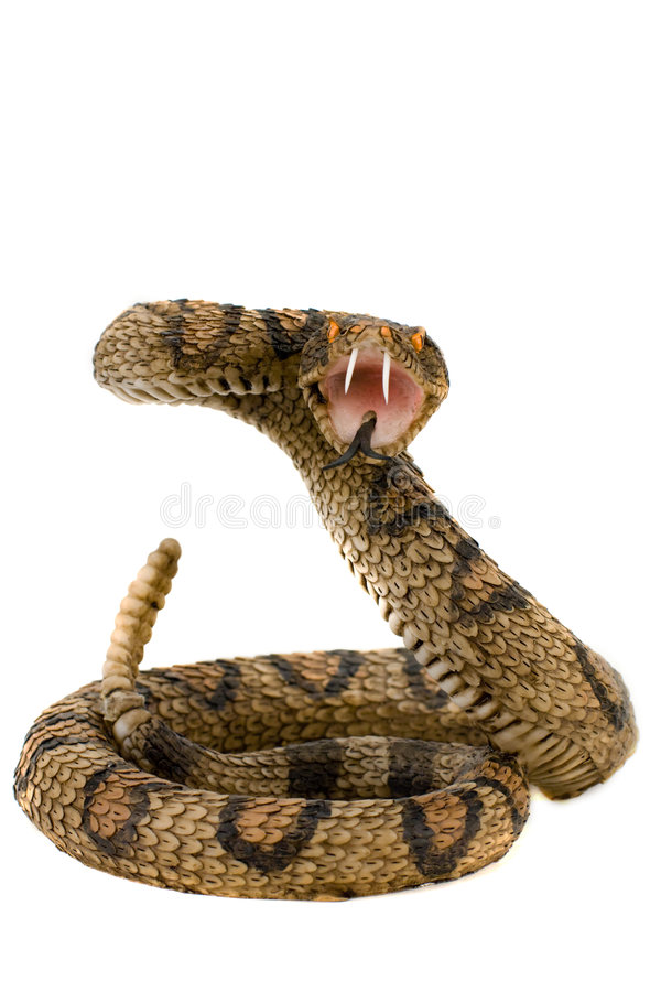 Snake royalty free stock photography