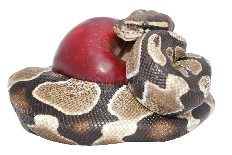 Snake and Apple royalty free stock image