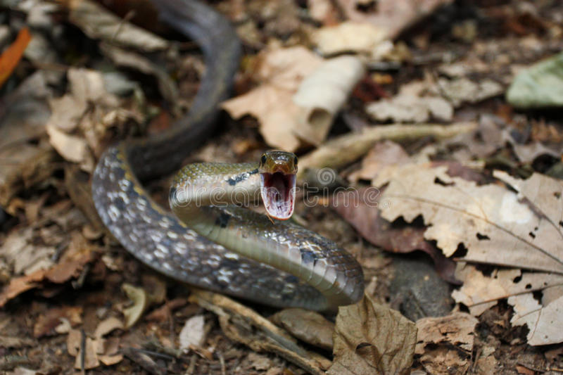 Download Snake attack stock photo. Image of aggression, furious - 34257758