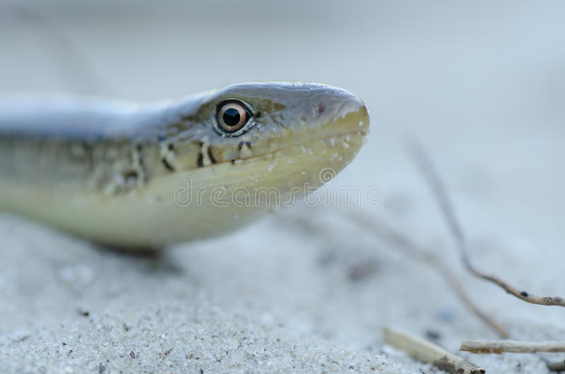 Download Snake at beach stock photo. Image of reptilian, summer - 26834120