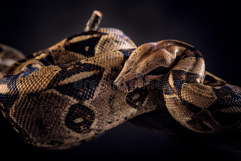 Snake on black background royalty free stock photo