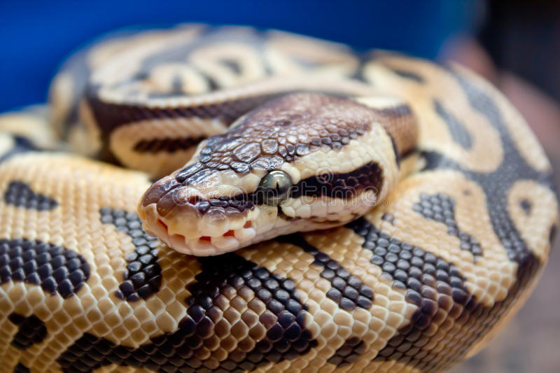 Snake is black and brown. Snake have black and brown is sleep stock images
