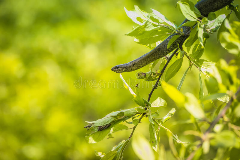 Snake on a branch in europe royalty free stock photography