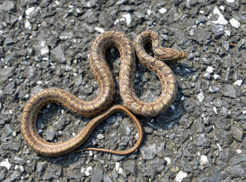A snake. This snake is called Twin-spotted rat-snake in English,and its decorative pattern is fancy stock photos
