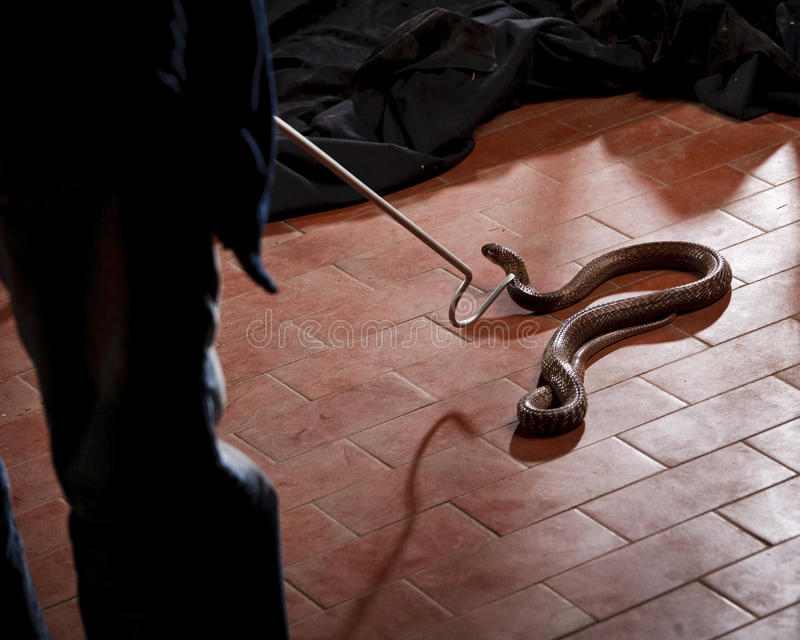 Snake - charmer is catching deadly cobra. Deadly snake in the house royalty free stock images