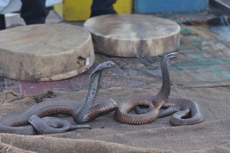 Snake charmer with Cobra-Morocco. 2015 royalty free stock photos