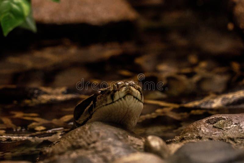 Snake Cloup Snake snout stäng Natur fotografering för bildbyråer