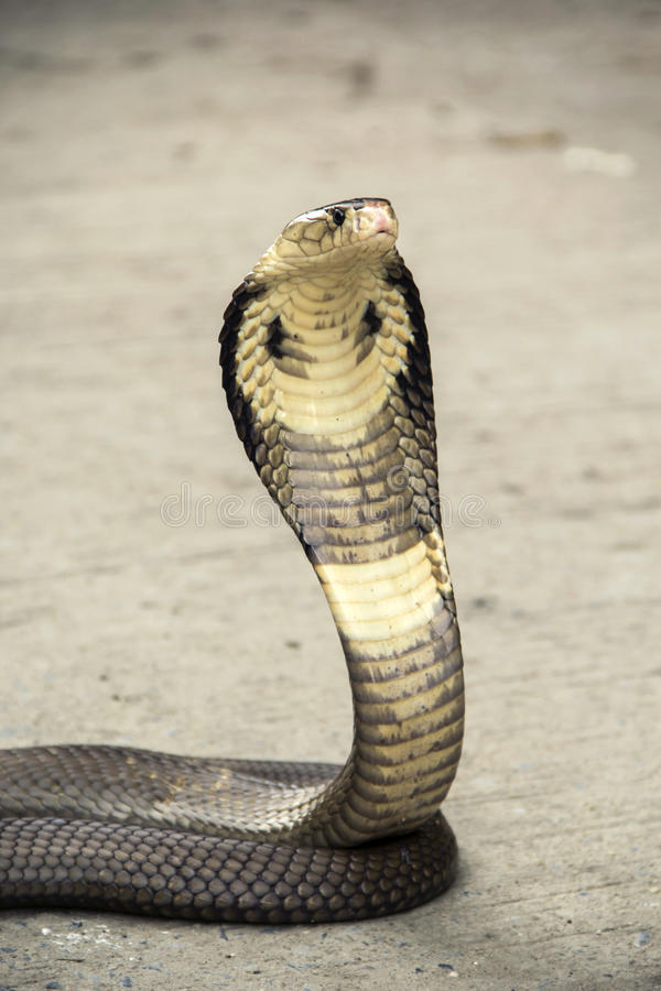 Snake Cobra. Snake Siamese cobra Naja kaouthia the cement floor street stock images