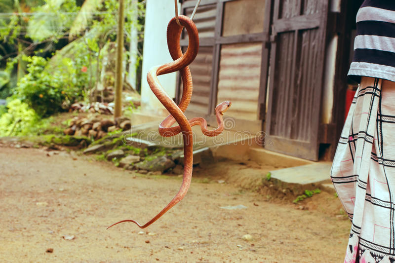 Snake colombo Wolf or Flowery stock image