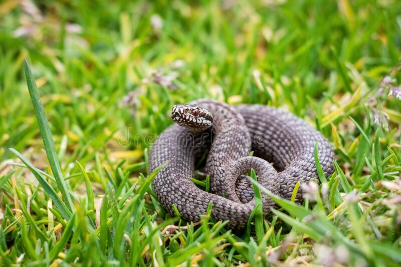Snake common viper on lawn royalty free stock photo