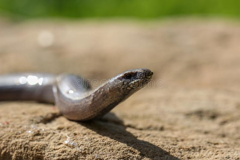 The snake crawls on the ground royalty free stock image