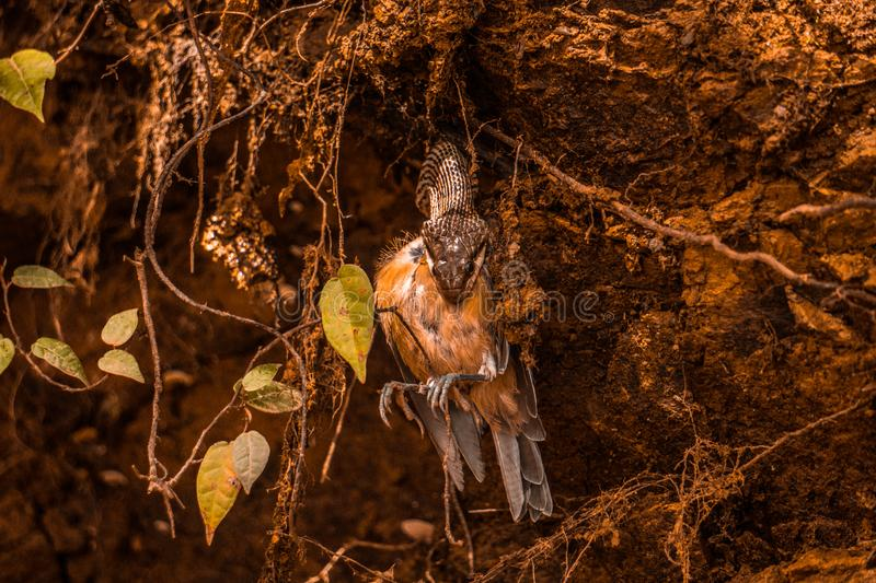 Snake devouring a bird wild in nature. Snake devouring eating alive a little bird in wild nature with brown colors stock photography