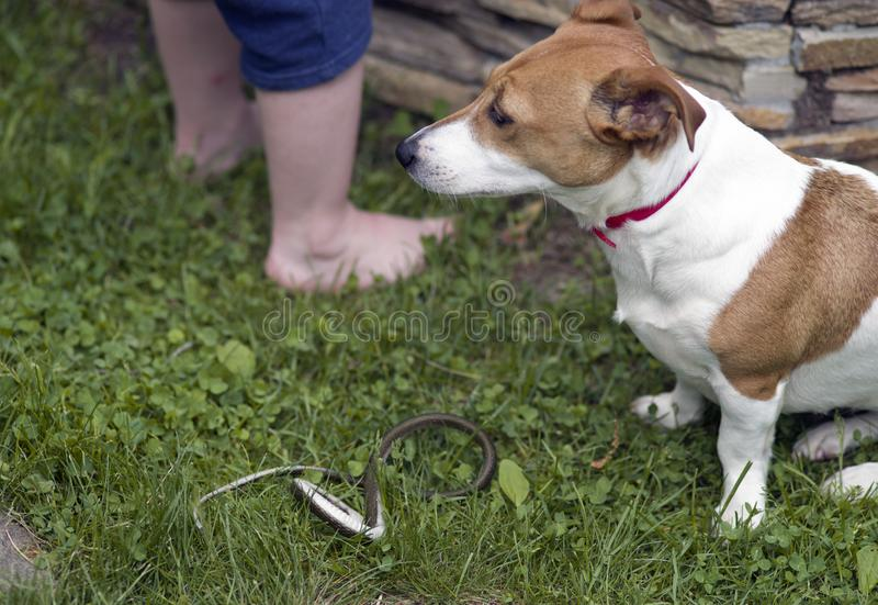 Snake dog and child. A small dog sitting next to dead adder, the bare child feet standing on the ground in the background stock images