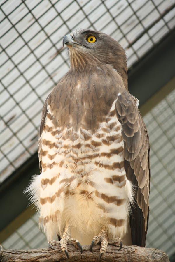 Free Snake Eagle Royalty Free Stock Image - 23981056