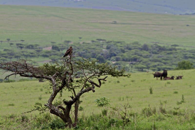 Snake eagle in tree overlooking savannah stock image