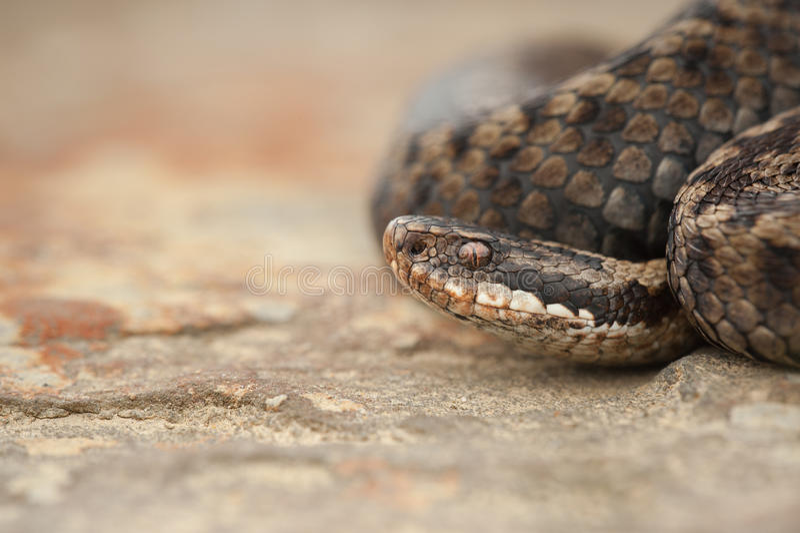Download Snake stock image. Image of nature, reptile, berus, scales - 31189523