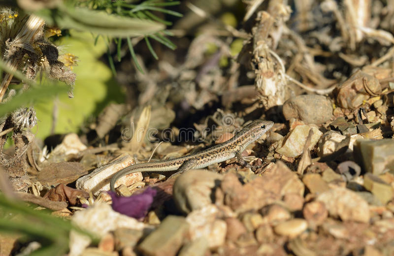 Snake-eyed Lacertid. Ophisops elegans Common Lizard in Cyprus royalty free stock photo