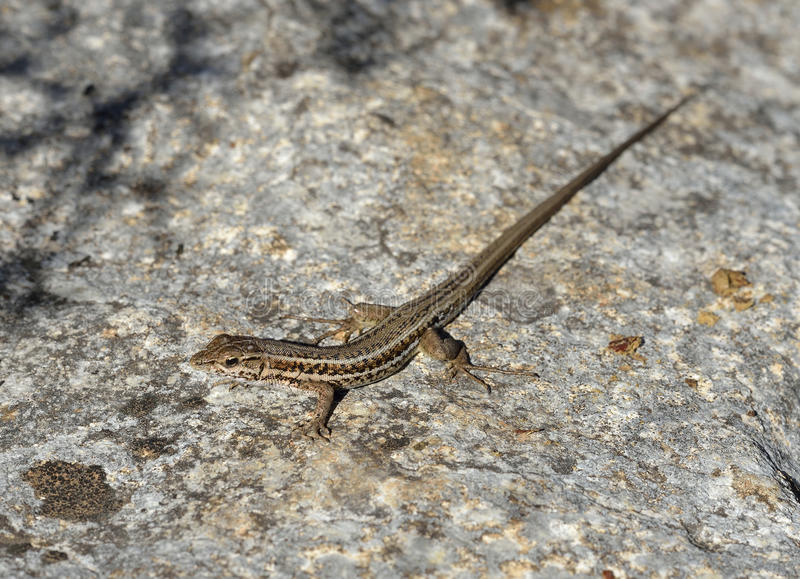 Snake-eyed Lacertid. Ophisops elegans Common Lizard in Cyprus royalty free stock images