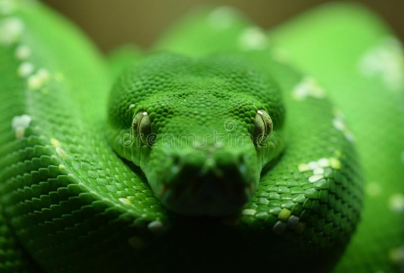 Snake eyes. Green tree python. Close up. Macro. A hypnotic macro image of a green tree python snake with the focus on the eyes royalty free stock photography