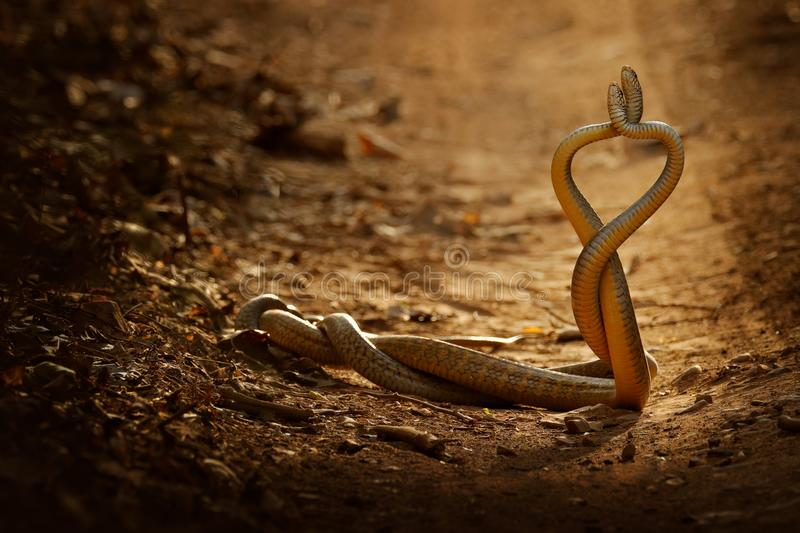 Snake fight. Indian rat snake, Ptyas mucosa. Two non-poisonous Indian snakes entwined in love dance on dusty road of Ranthambore n. Snake fight. Indian rat snake stock photography