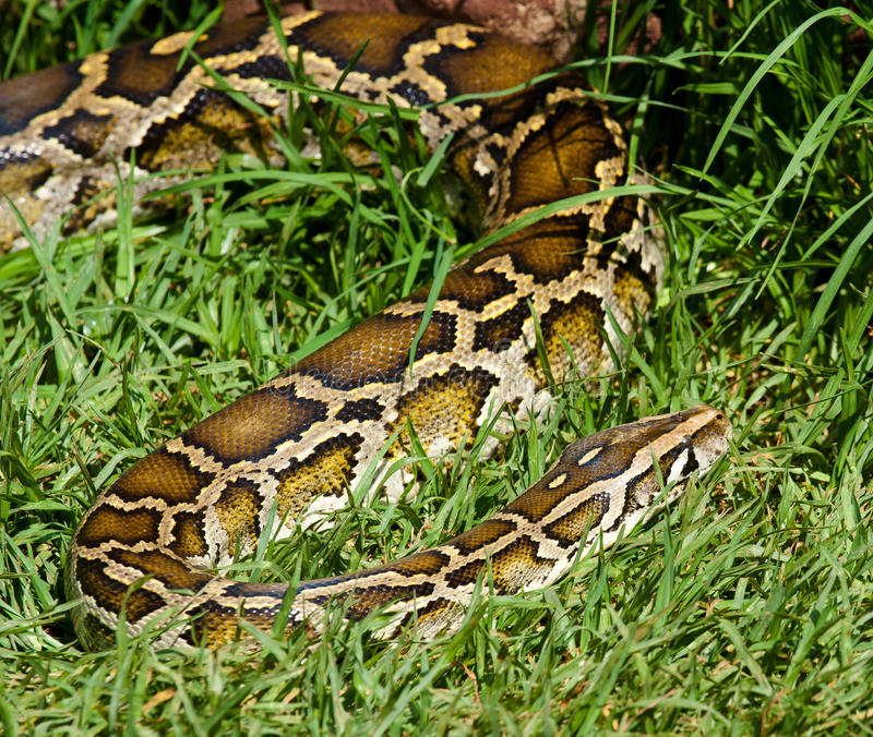 Download Snake In The Grass stock photo. Image of pattern, fraudster - 28481388