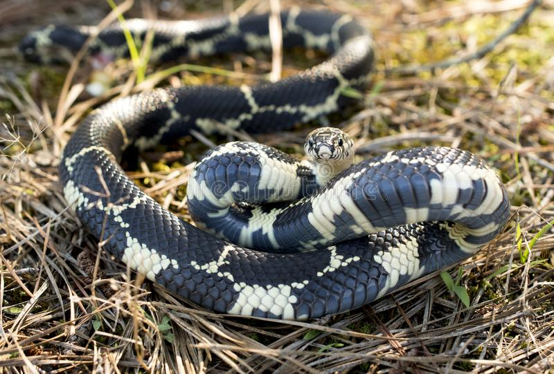 Snake in the grass coiled to strike. Eastern Kingsnake coiled in the pine needles ready to strike. Lampropeltis getula, also known as the chain kingsnake, is a royalty free stock photography