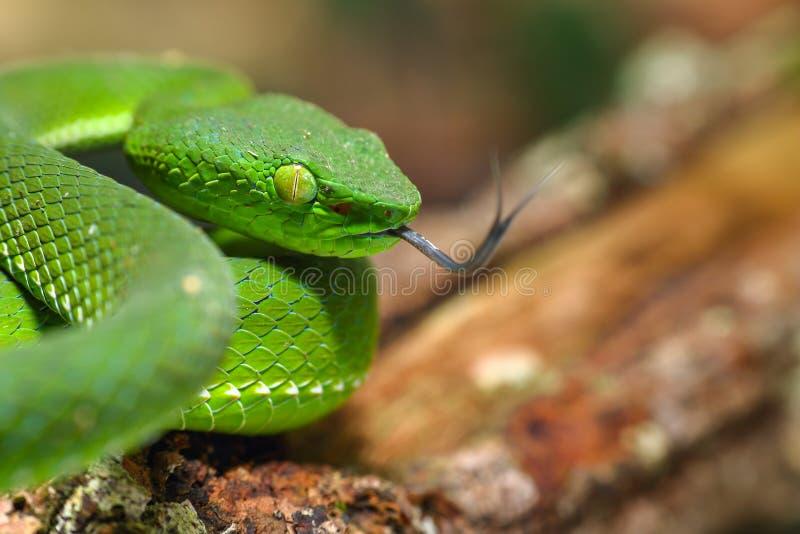 Snake, green tree viper Cameron Highland pit viper Trimeresurus nebularis royalty free stock image
