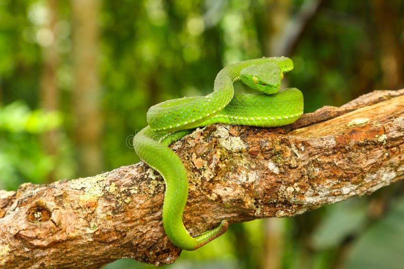 Snake, green tree viper Cameron Highland pit viper Trimeresurus nebularis stock images