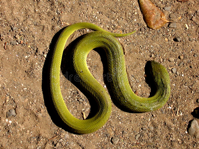 Download Snake Greens stock photo. Image of colour, crawl, colours - 1683838