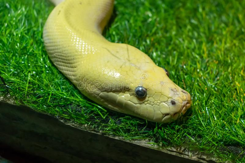 Snake head with eyes on green lawn. Snake& x27;s head with eyes on green lawn, animal, nature, reptile, wild, wildlife, closeup, exotic, isolated, python, snakes stock photo