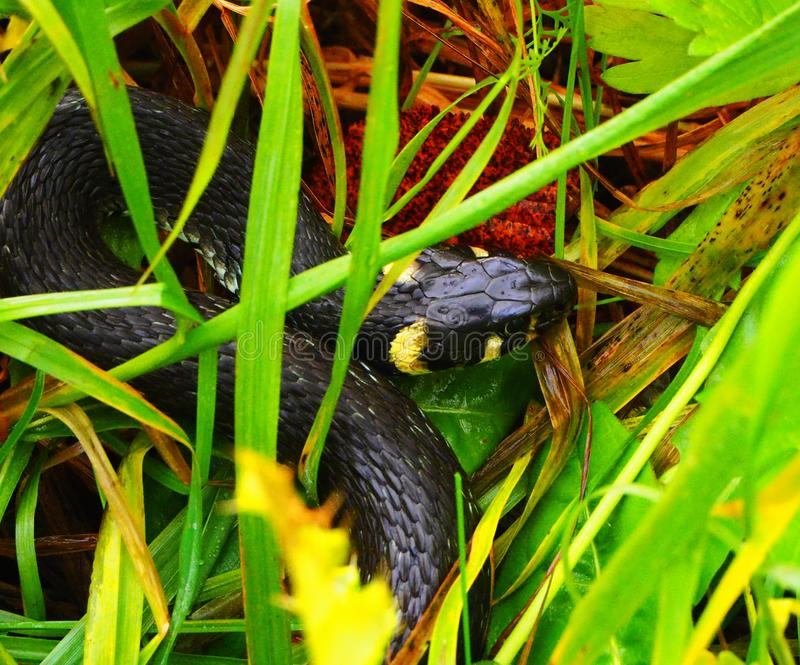 A snake hidden in the grass stock images
