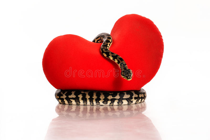 Snake hugging a red heart on a white background. Beautiful snake hugging a red heart on a white background very nice for advertising stock photo
