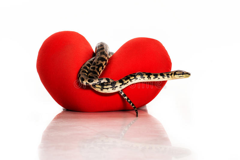 Snake hugging a red heart on a white background. Beautiful snake hugging a red heart on a white background very nice for advertising royalty free stock image