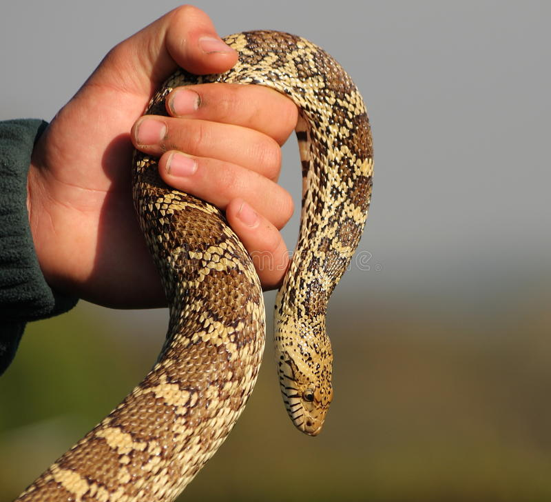 Free Snake In Hand Stock Photo - 53745080