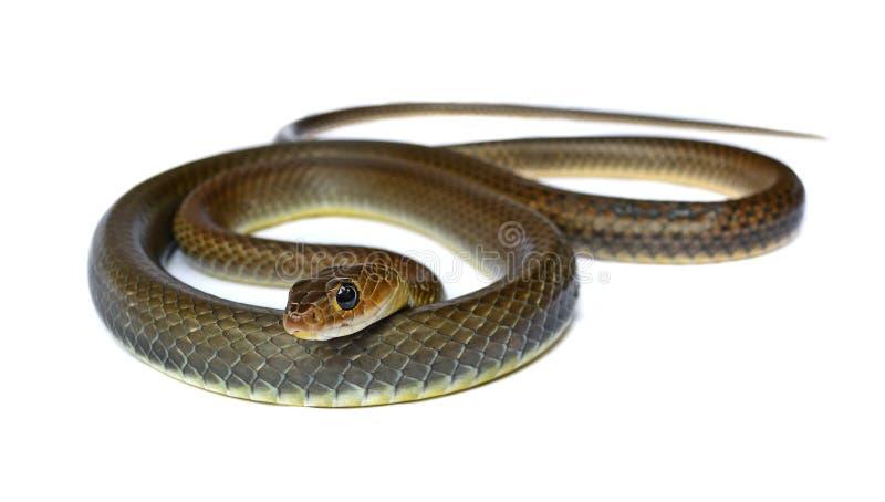 Snake isolated on white background stock images