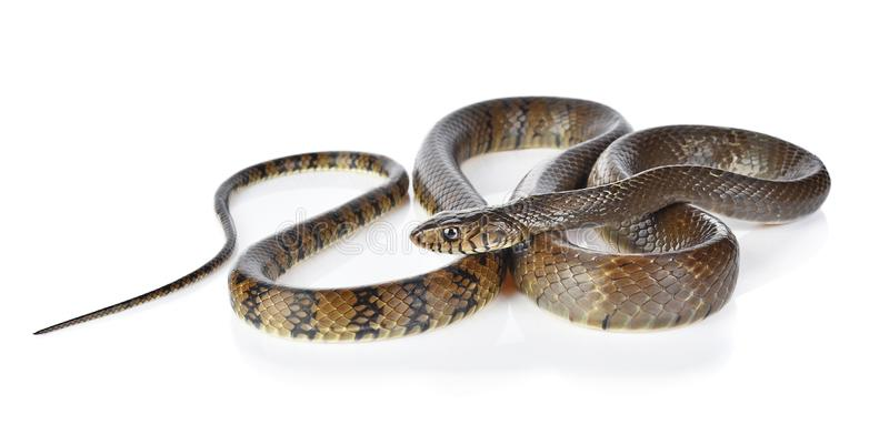 A snake isolated on white background. stock photos